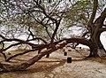Bahrain Tree of Life 19.jpg