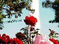 Balboa park roses garden.jpg