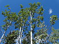 Balsam Poplar Trees - Along Stewart-Cassiar Highway - Northern British Columbia - Canada.jpg