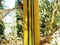 Bambusa vulgaris.JPG