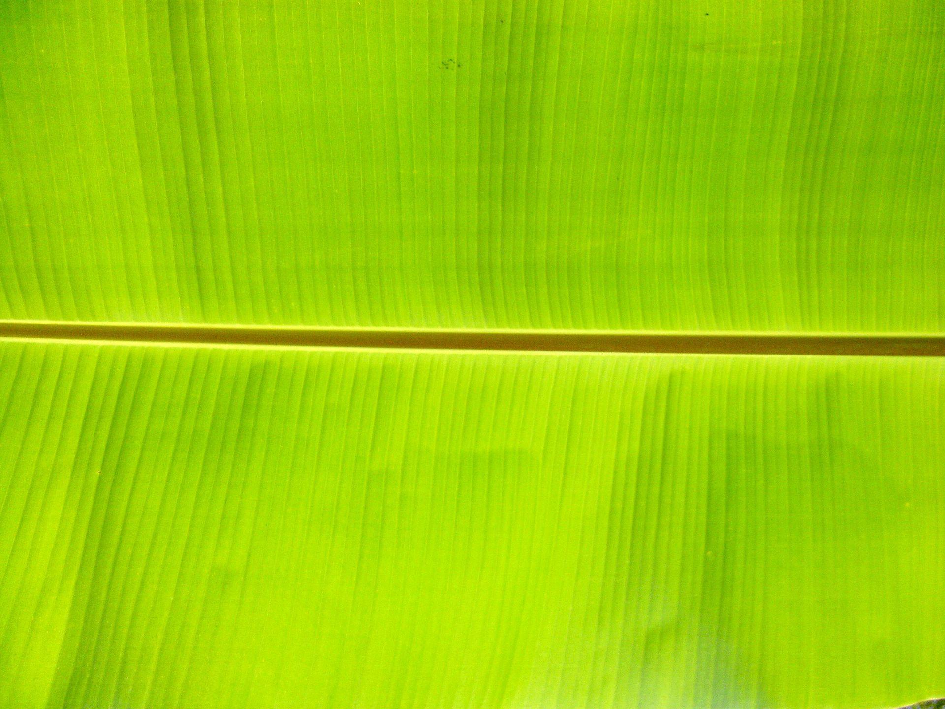 banana leaf wikipedia