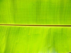 Banana leaf - Banana leaf