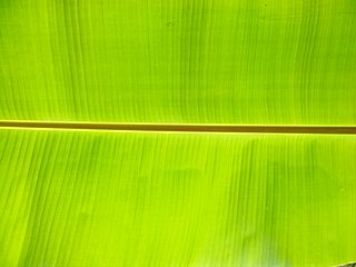 Banana leaf leaf of the banana plant, used for cooking, wrapping, food-serving; for decorative and symbolic purposes in Hindu/Buddhist ceremonies; for roofs and fences in tropical areas; and as writing surfaces