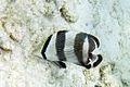 Banded butterflyfish Chaetodon striatus (4684238532).jpg