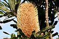 Banksia in the Sun (6754394603).jpg