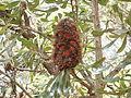 Banksia man (3476202082).jpg