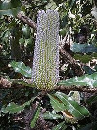Banksia serrata flower