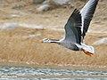 Bar-headed Goose (Anser indicus) (32089713008).jpg