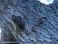Bar-tailed Tree-creeper (Certhia himalayana) (15273134684).jpg