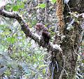Bare-shanked Screech-Owl (7090928573).jpg