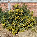Barkleyanthus salicifolius in Mexico.jpg