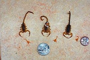 Arizona bark scorpion - Three adult and four juvenile Arizona bark scorpions