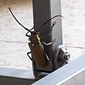 Batocera rufomaculata יקרונית התאנה (11).jpg