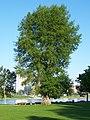 Baum am Rhein - panoramio.jpg