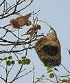 Baya Weaver Ploceus philippinus by Dr. Raju Kasambe DSCN4592 (3).jpg