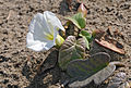 Beach morning-glory (Ipomoea imperati) 04.jpg