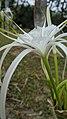 Beach spider lily Hymenocallis littoralis IMG 20210414 065256.jpg