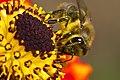 Bee (63393565).jpeg