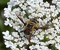 Bee Fly. Villa cingulata Bombylidae - Flickr - gailhampshire.jpg