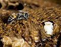 Bee Lavae.jpg