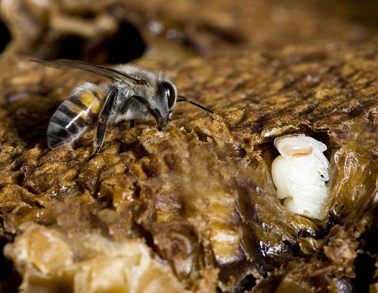 File:Bee Lavae.jpg