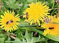 Bee trio - Flickr - S. Rae.jpg