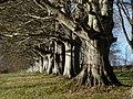 Beech Avenue, Wimborne - 'All their ancient faces' - panoramio.jpg