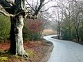 Beech by the Bramshaw Road - geograph.org.uk - 1713370.jpg