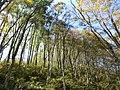 Beech forest at Mt.Yokoyamadake01.jpg