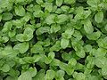 Beekpunge planten Veronica beccabunga.jpg