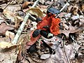 Beetles feeding on stinkhorn fungus.jpg