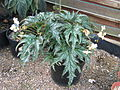 Begonia probably U614, originally sold as sikkimensis (20796660709).jpg