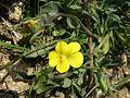Belasitsa Flower.jpg