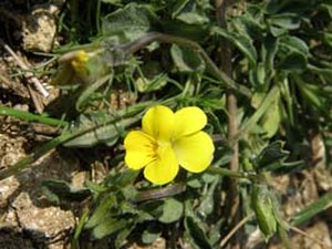Belasitsa Nature Park - Viola stojanowii