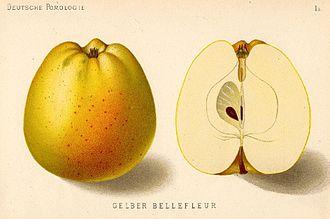 Bellflower apple - Illustration of Yellow Belleflower in 1883.