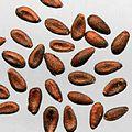 Berberis thunbergii seeds.jpg