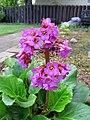 Bergenia Flowers (8859465604).jpg