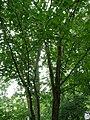 Betula alleghaniensis 03 by Line1.jpg