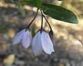 Billardieraheterophylla1.JPG