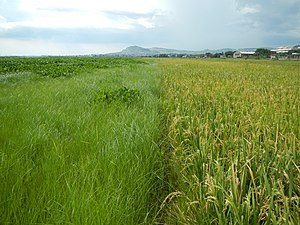 Rizal - Rice fields in Binangonan
