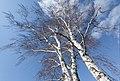 Birch Tree (15881071309).jpg