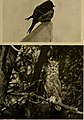 Bird lore (1920) (14569001507).jpg