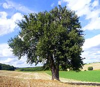 Birnbaum am Lerchenberg retouched.jpg