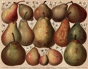 Eduard Lucas - Pear varieties according to the pomological system of Lucas