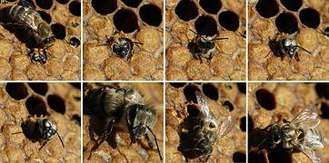 Birth of black bee (Apis mellifera mellifera)