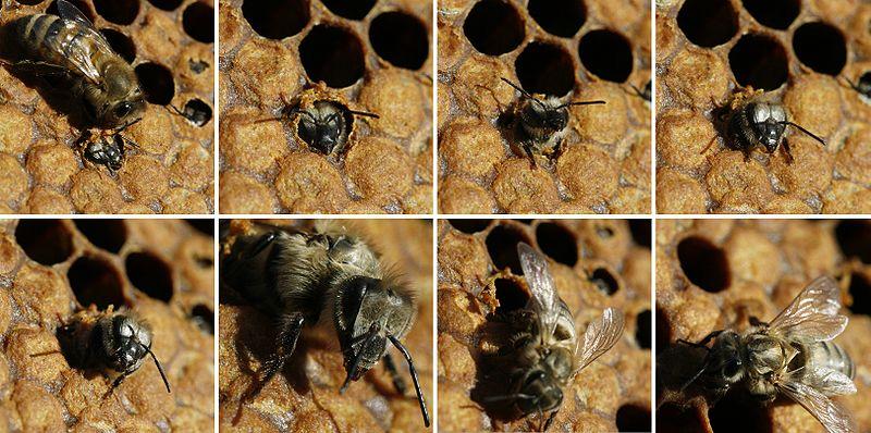 Honeybee combs