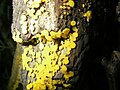 Bisporella citrina - Reisigbecherchen Zitronengelbes.jpg