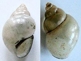 Bithynia tentaculata1pl