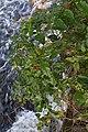 Bittersweet (Solanum dulcamara) - Oslo, Norway 2020-09-19.jpg