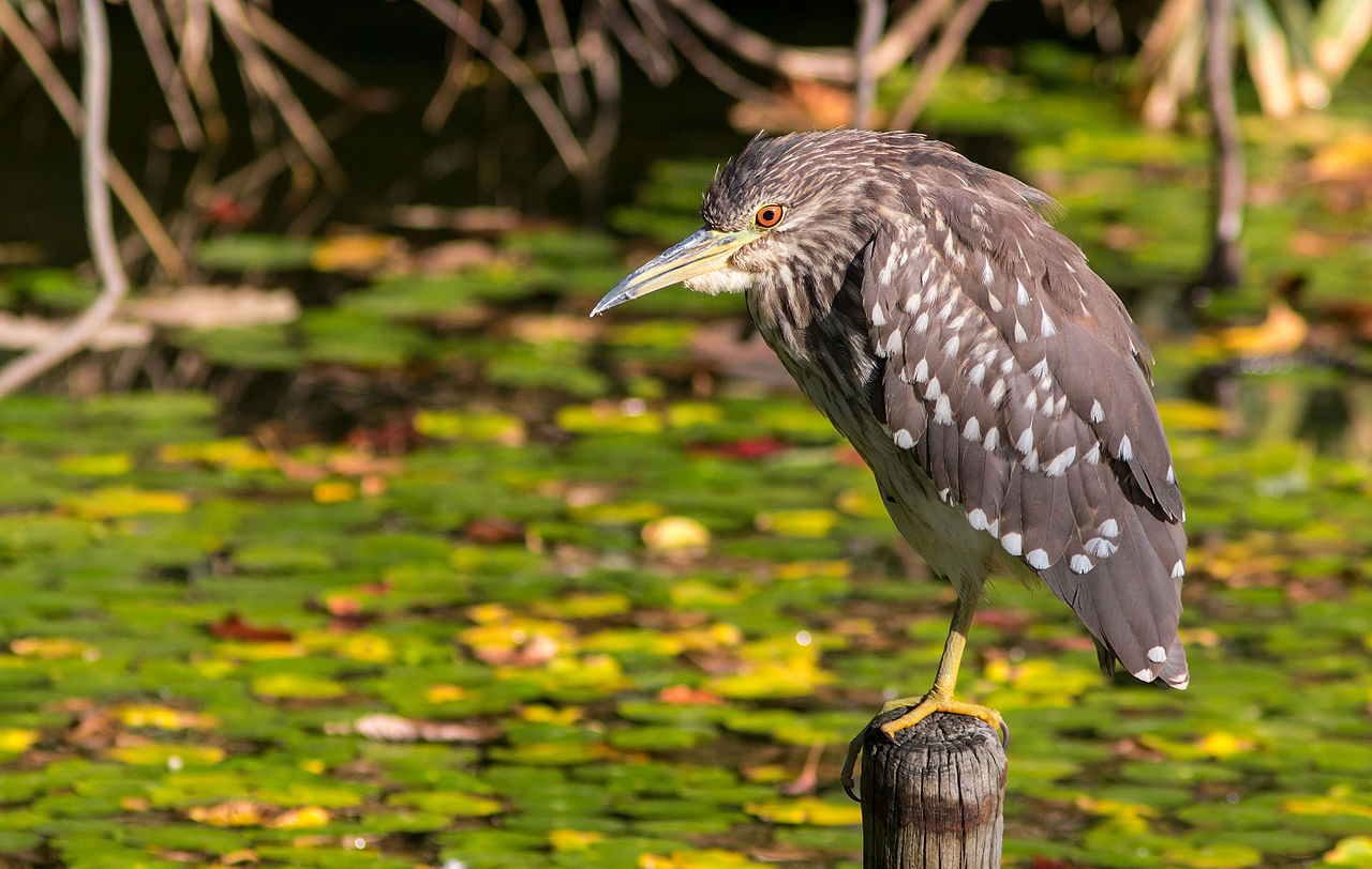 File Black Crowned Night Heron Young Bird October 2015